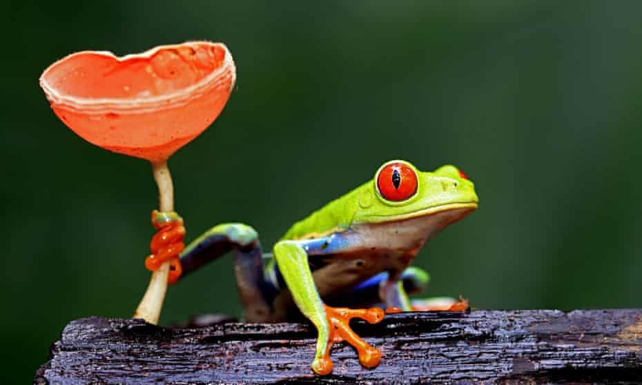 Tree frog, Sarapiqui, Costa Rica - May 2012