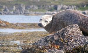 A seal, the Highland, Scotland