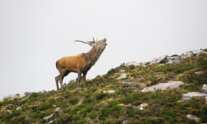 Call of the wild … a stag on the headland, in Scotland.