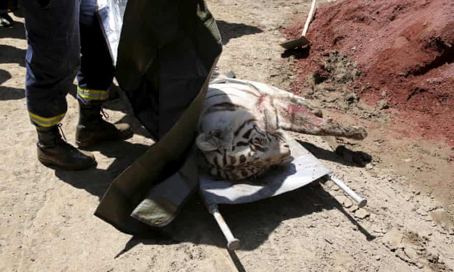A white tiger is stretchered away after it was killed by police in Tbilisi.