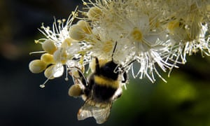A bumblebee draws nectar from the flowers of a Sorbaria sorbifolia bush in a garden outside Moscow.