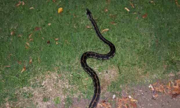 Carpet python in Wandsworth, south London