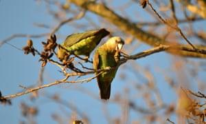 Cape parrot, Poicephalus robustus
