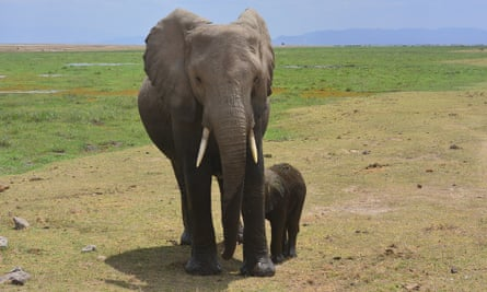 Elephant Anthea suckling her calf at Amboseli National Park, Kenya, 12 August 2015