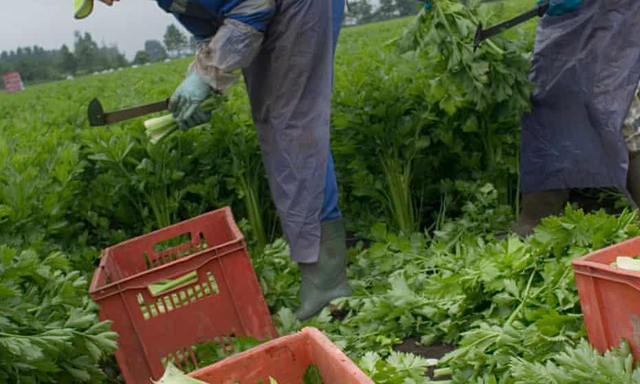 Migrant workers harvesting celery in Cambridgeshire.