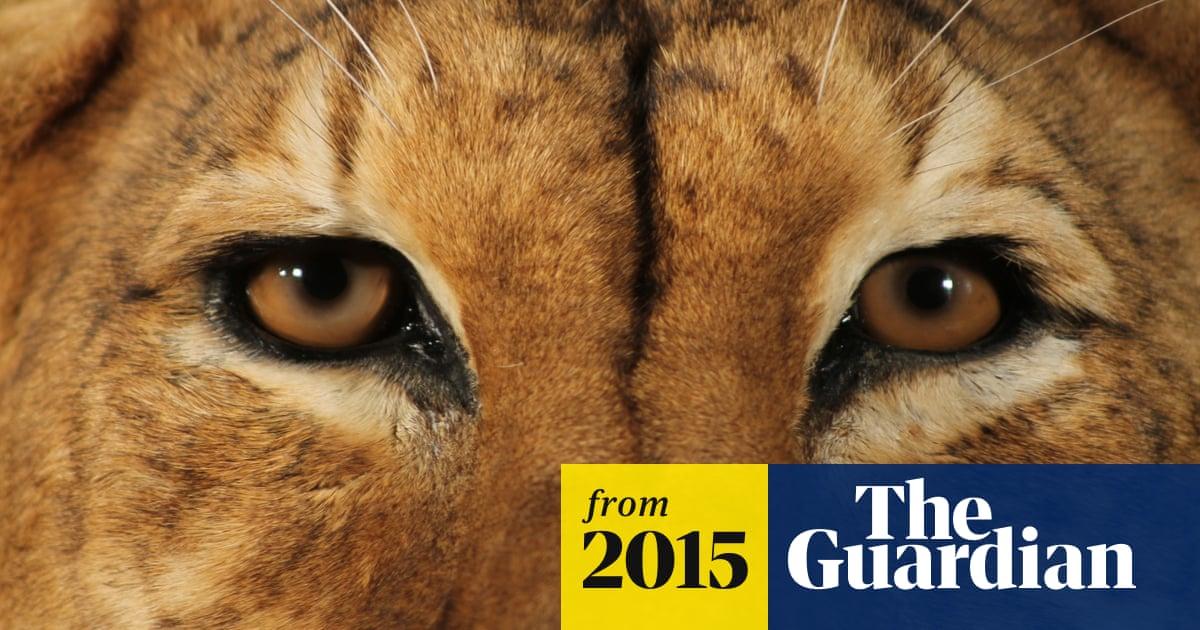 The tigon's return: a rare tiger-lion takes over the Manchester