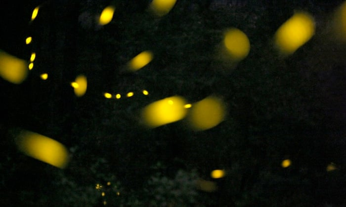 The alluring firefly: nature's lightning bug may hold key to