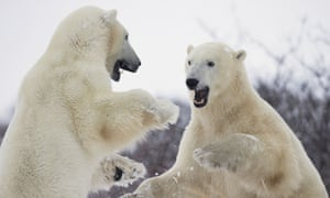 Polar bears at Hudson's Bay, Canada