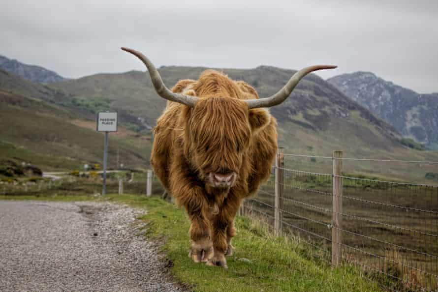 The North Coast 500 website include tips on what to do should you meet a herd of Highland cattle