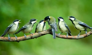 Great tit feeding chicks