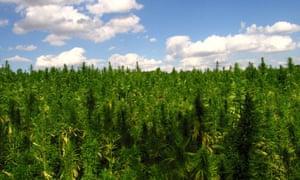 Marijuana field.
