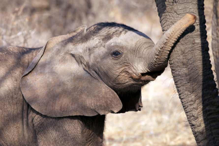 A young elephant calf touches its mother at Samburu reserve.