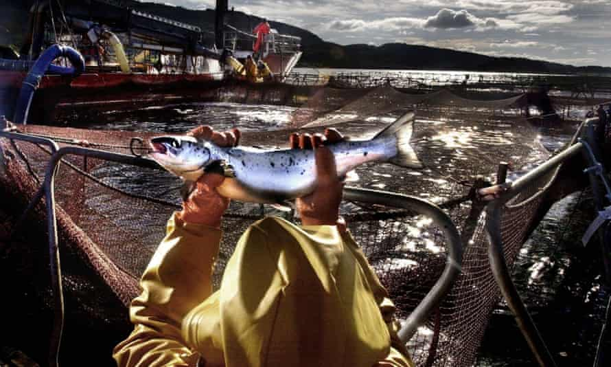 Salmon farms are some of the most efficient convertors of feed across the animal protein sector.