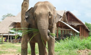 File photograph: an elephant tied up next to a handler's house in Thailand.