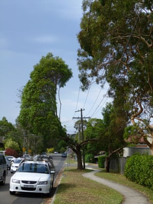 A tree growing around cables in a suburban street in Sydney.