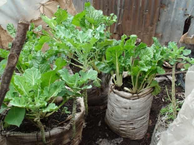 Spinach and kale being grow in burlap sacks