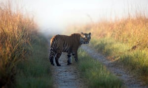 Corridors are critical for tiger survival in central India.