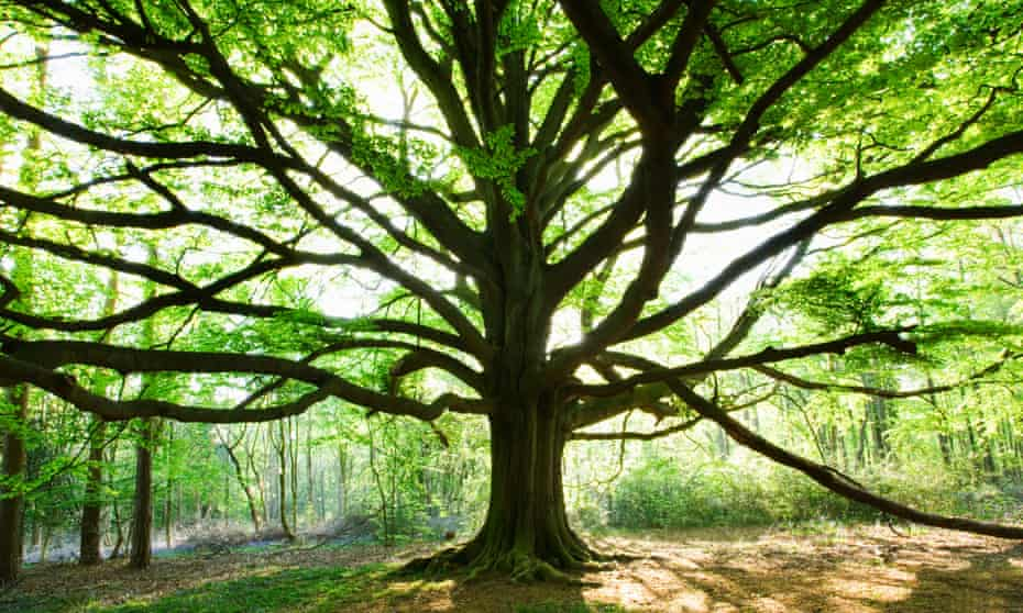 Beech Tree, on the North Downs near Dorking, Surrey, UK.
