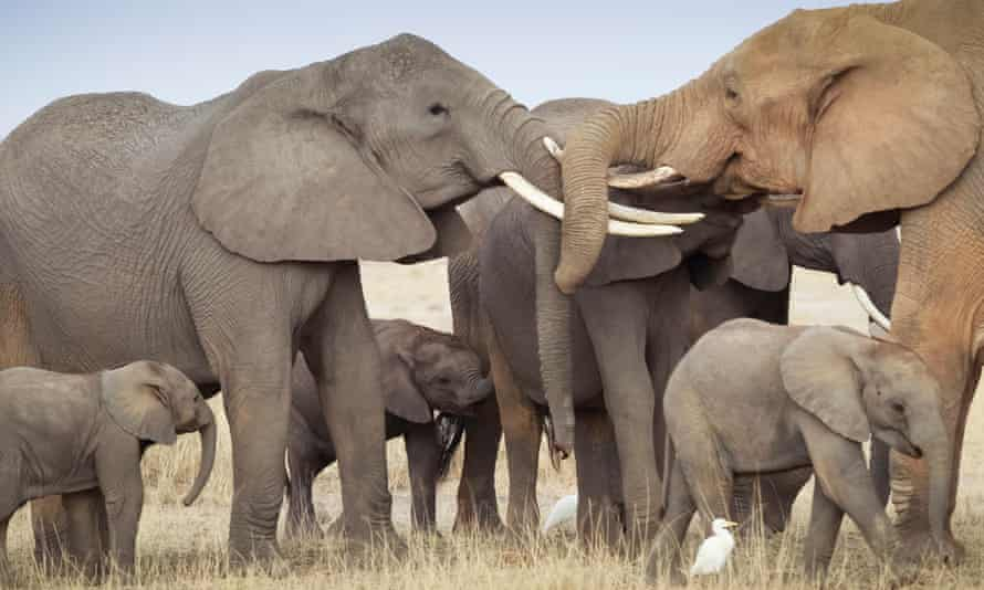 A family group of elephants, with two adult elephants locking horns . New evidence reveals how elephants are being killed by poachers to finance terrorism. Without more effective action against ivory trafficking, African elephants could be extinct within a generation.