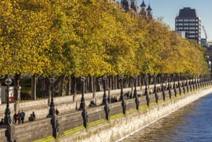 London planes trees lining the south side of the Thames. A recent study revealed that one of London's most common species is the apple tree, mainly hidden in gardens.