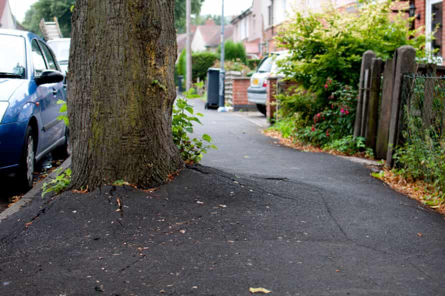 Lime tree roots forcing up tarmac. The Rustling Road dispute is over the proposed felling of 11 mature lime trees.