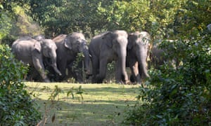 Only bulls sport tusks among Asian elephants. Targeted poaching of males leads to skewed sex ratios.