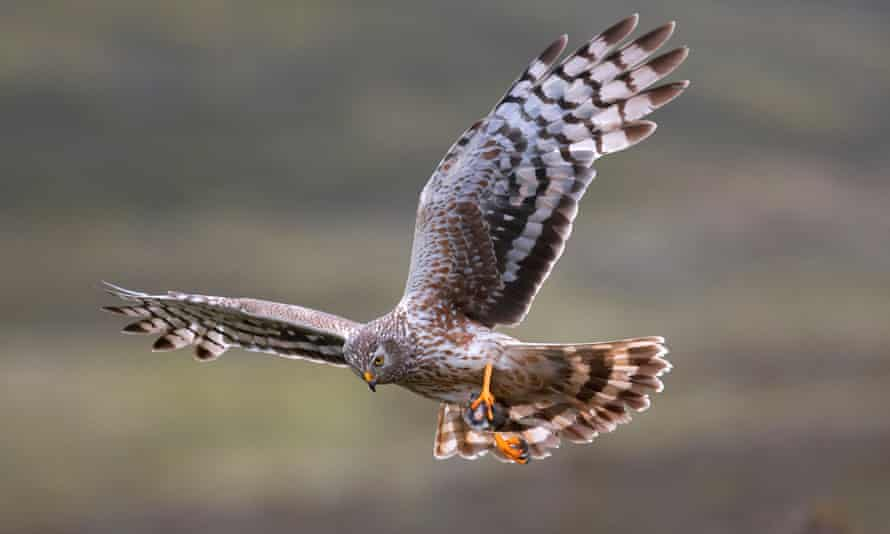A female hen harrier with prey in Scotland