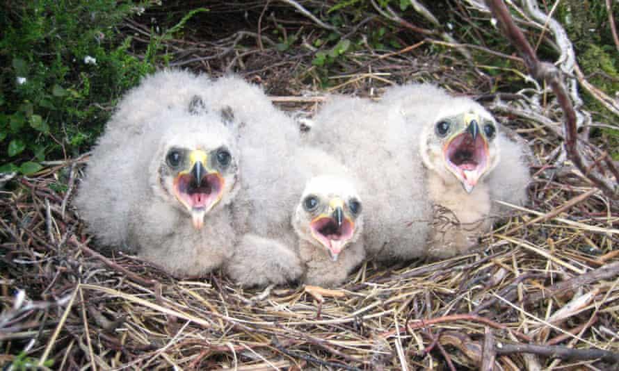Hen harrier chicks in the nest.