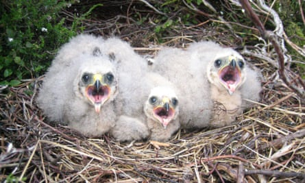 Hen harrier chicks in the nest.