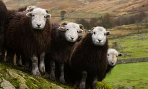 Herdwick sheep in Cumbria, Lake District, UK.