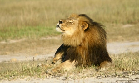 Cecil the lion raises his muzzle to sniff the air, his eyes closed