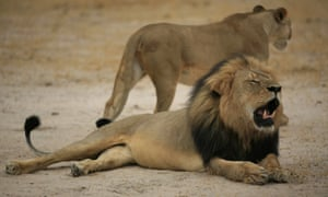"""This handout picture taken on October 21, 2012 and released on July 28, 2015 by the Zimbabwe National Parks agency shows a much-loved Zimbabwean lion called """"Cecil"""" which was allegedly killed by an American tourist on a hunt using a bow and arrow, the Zimbabwe Conservation Task Force charity accused on July 15, 2015, adding that the animal had taken 40 hours to die."""