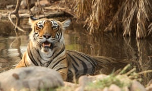 If the river-linking project goes through, Panna's tigers will have to be moved to another forest.