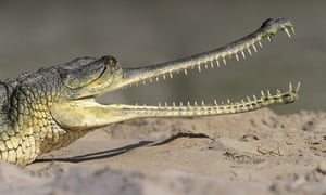 The critically endangered gharial is one of the creatures likely to be affected when river Ken is diverted.