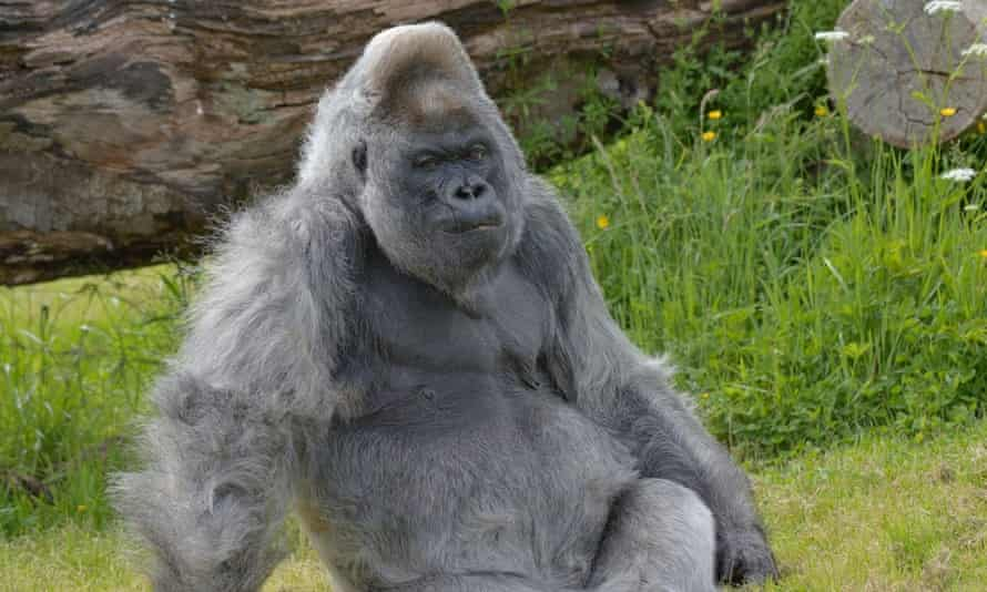 Nico, a western lowland gorilla at Longleat Safari Park & Adventure Park