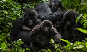 Gorillas in Virunga National Park, Congo.