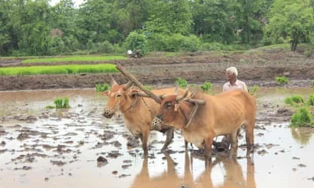 Farmers still till the land manually in the village of Mangaon.