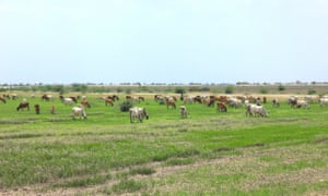 Grazing land for thousands of cattle around the village of Dholera has been notified for industrial use.