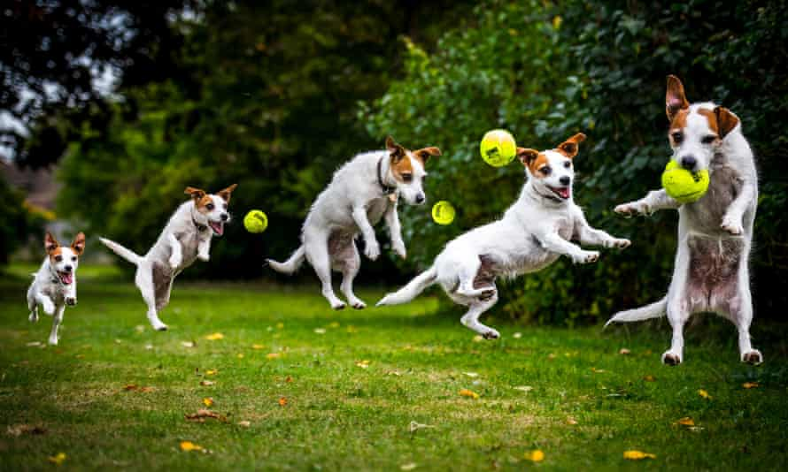 Jack Russell catching a ball