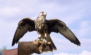 A captive falcon spends much of its time under its handler's thumb and at the end of its tether.