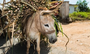 A donkey bought with Fairtrade Premium funds carries sugar cane at Worthy Park Cane Farmers' Association, Jamaica.