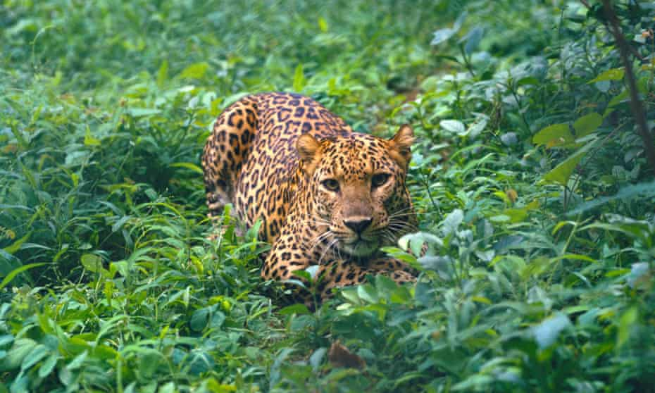 Leopard crawling through forest cover