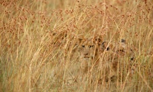 Lion cubs hiding in long grass