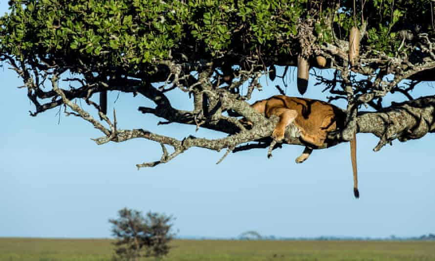 An African lioness sleeping on a branch in a Sausage Tree above the savannah plain.