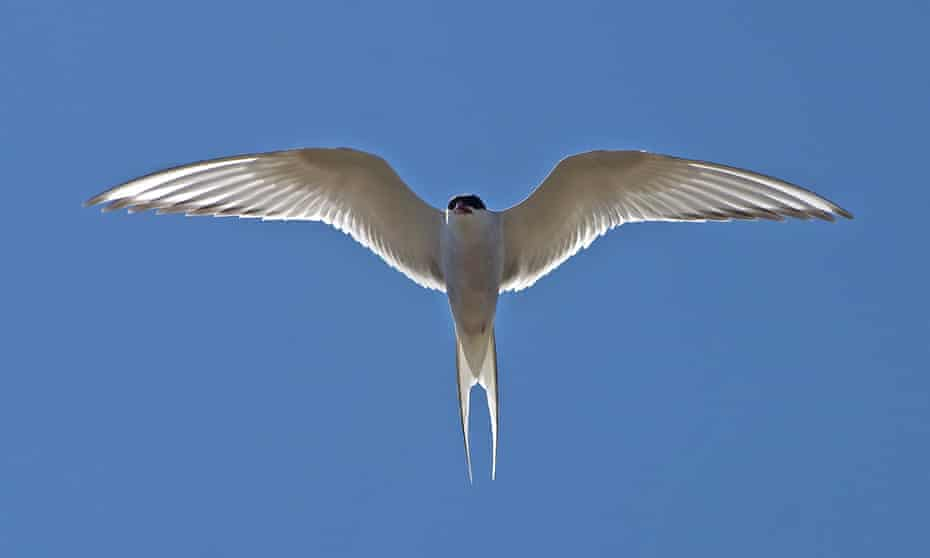 The Arctic Tern (Sterna paradisaea) undertakes the longest known migration of any animal, travelling from the Arctic to the Antarctic and back each year. The IUCN Red List considers the species as Least Concern, but its population is in decline.