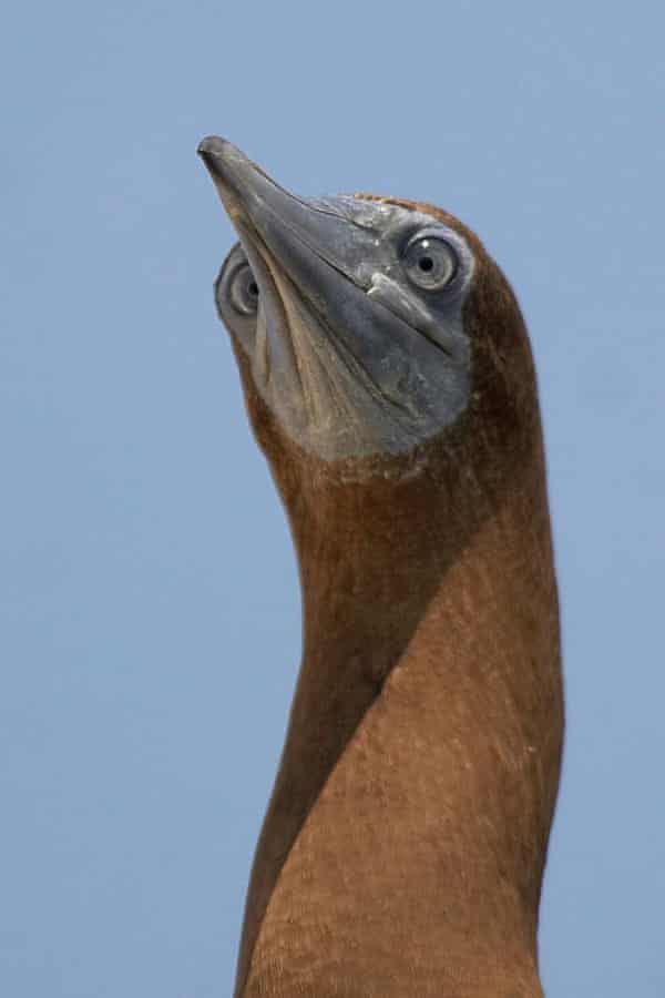 The Brown Booby (Sula leucogaster) is listed as Least Concern and is found throughout the pantropical oceans. However some populations are suspected to be in decline owing to disturbance and unsustainable levels of exploitation.