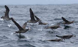 The Near Threatened Black-footed Albatross (Phoebastria nigripes) is a species at risk of accidental bycatch in fisheries of the North Pacific. However, simple mitigation measures have proved to be very effective at keeping seabirds off the hooks.