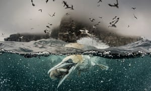 A gannet grabs a fish by its beak, 2014, in Shetland, Scotland. Gannets, and other seabirds, depend on abundant fish populations to survive.