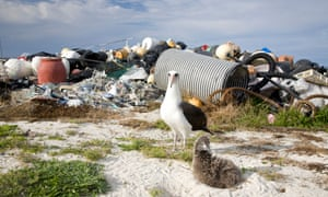 Laysan Albatross adult and chick on nest dwarfed by pile of marine debris collected on Midway Atoll coast by volunteers. Plastic poses a major threat to the world's seabirds and other marine species. The Laysan Albatross is categorised as Near Threatened by the IUCN Red List.