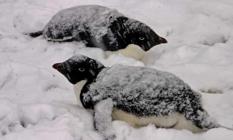 No other bird breeds further south than the Near Threatened Adelie Penguin (Pygoscelis adeliae). Numbers are increasing in the Ross Sea region and decreasing in the Peninsula region, with the net global population increasing overall. But other penguin species aren't faring so well.